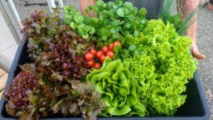 Produção do sistema AQP-PRO, sistema comercial de aquaponia. Tomate, agrião e diferentes tipos de alface estão entre as variedades produzidas.