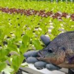 AQUAPONIA: Série de video aulas gratuitas sobre aquaponia comercial